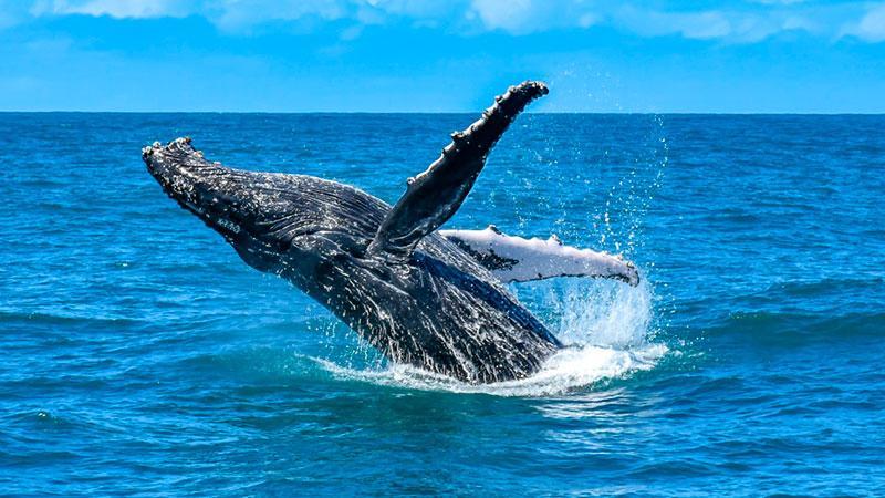 temporada das baleias jubartes em porto seguro encanta os turistas 1