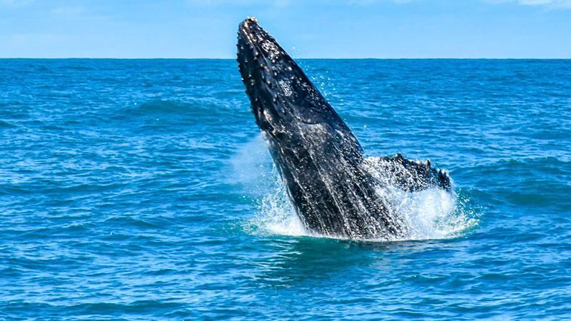 temporada das baleias jubartes em porto seguro encanta os turistas 2