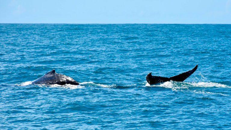 temporada das baleias jubartes em porto seguro encanta os turistas 3