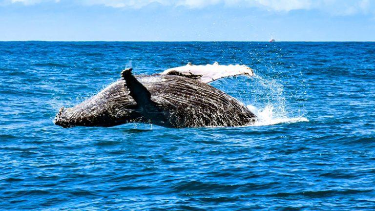 temporada das baleias jubartes em porto seguro encanta os turistas 4
